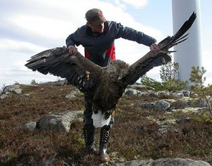 Dead White Tailed Eagle - Ontario Wind Resistance